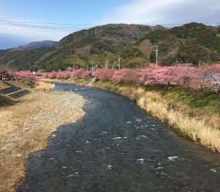 川沿いに咲き乱れる河津桜
